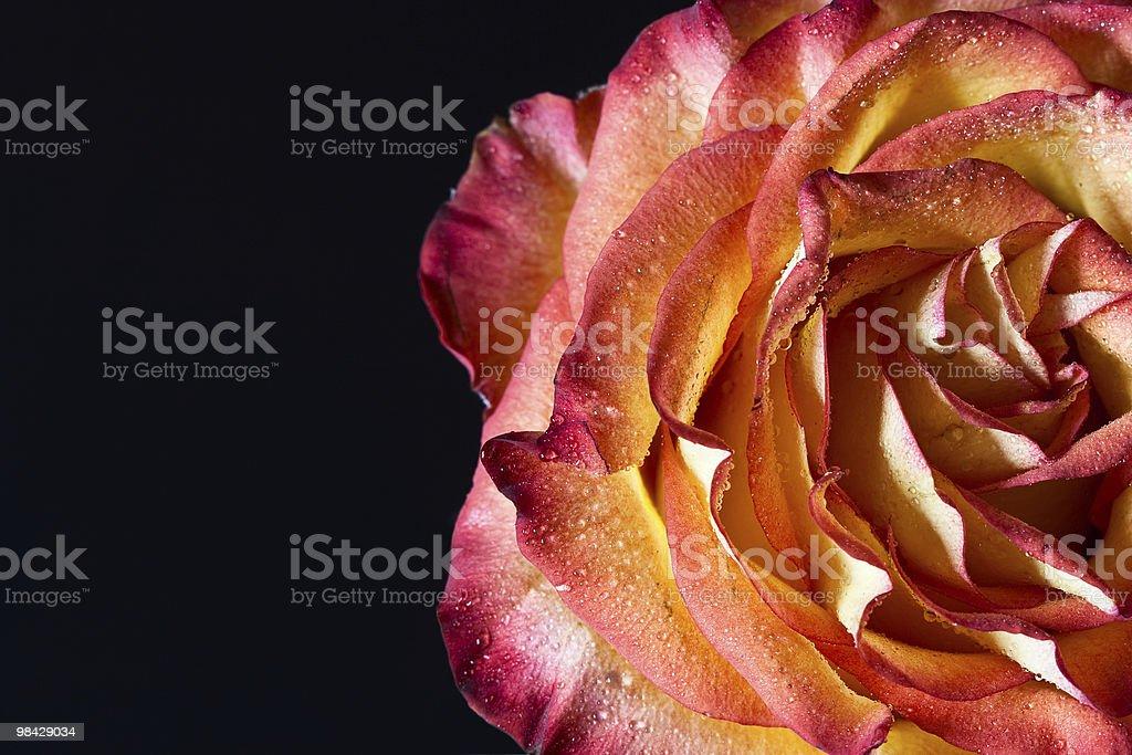 Rose. foto stock royalty-free