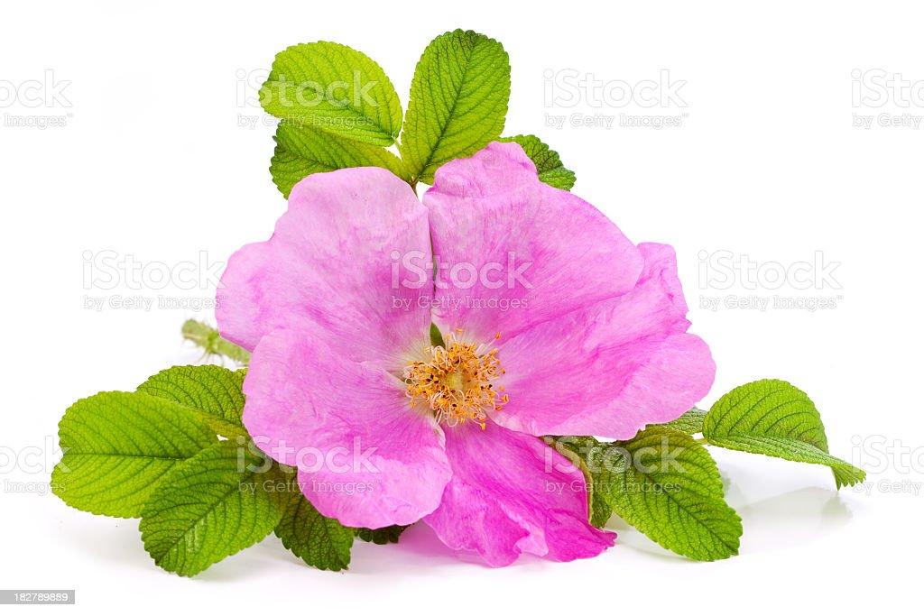 Rose pink flower stock photo