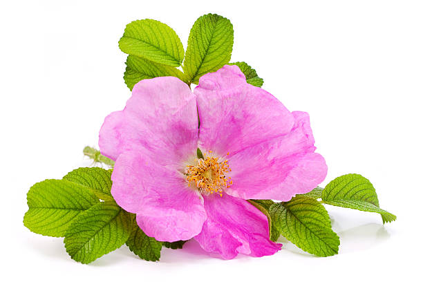 Rose pink flower Rose pink flower  wild rose stock pictures, royalty-free photos & images