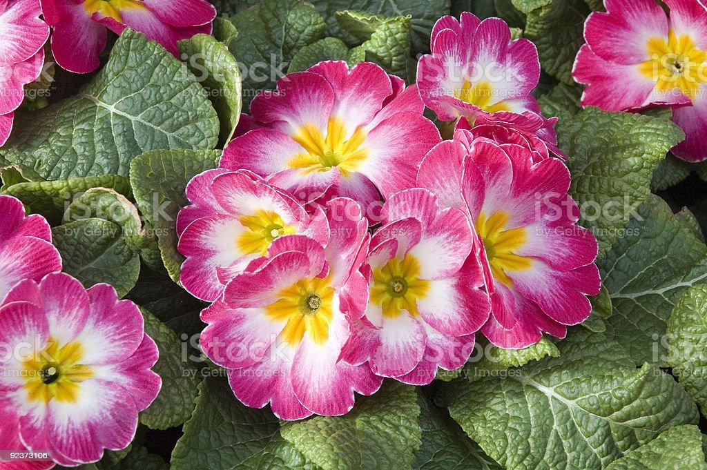 Rose pink primrose - primula royalty-free stock photo