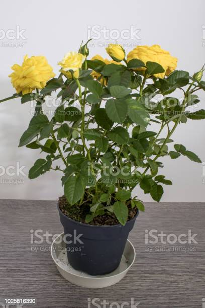 Rose plant full of detailed yellow roses composition picture id1025816390?b=1&k=6&m=1025816390&s=612x612&h=nyxjnpjuuebxesd k1 lv18qocv5d6qwtbvsy  vvmu=