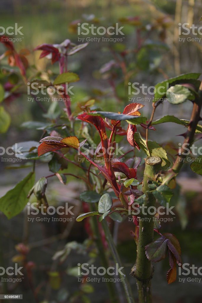 Rose plant leaves royalty-free stock photo