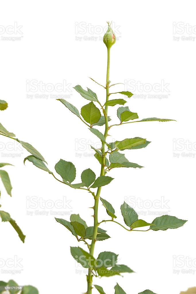 rose plant on white royalty-free stock photo