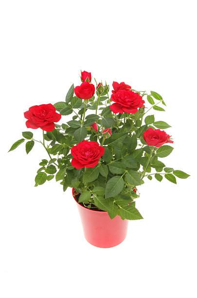 Rose plant picture id500678280?b=1&k=6&m=500678280&s=612x612&w=0&h=onjrz0f63jbxjq1okj3ktcc4ckfpj23xrz8elbuulua=