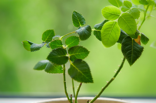 Rose plant with gentle leaves in pot on green background
