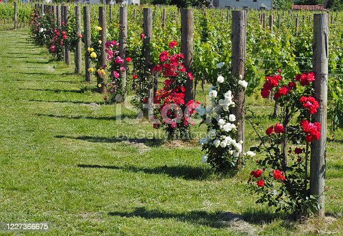 Rose plants of different colors at the beginning of each vineyard row. They are used as sentinels by farmers because they manifest the attack of parasites or diseases before the vine plant