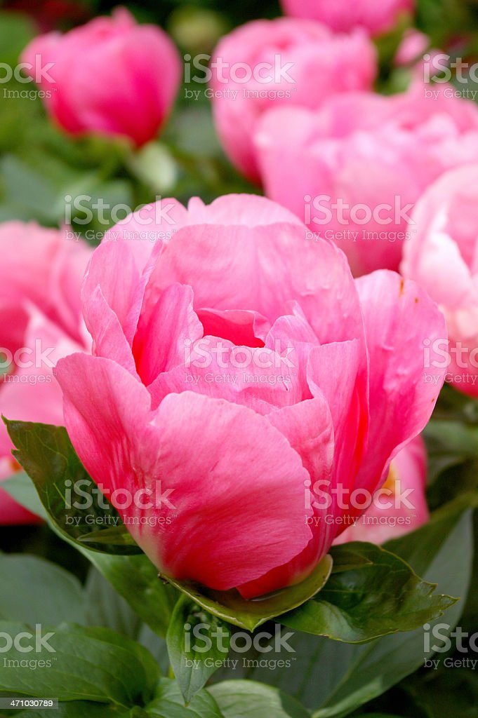 Rose Queen Elisabeth royalty-free stock photo