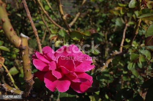 istock Rose
