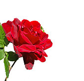 istock rose red isolated side and top view for background 951136446