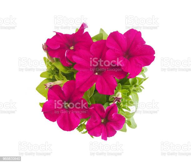 Rose red potted petunia in blooms closeup isolated on white picture id955820540?b=1&k=6&m=955820540&s=612x612&h=zyku5wot hjsian34yaqhpnaljcn9zgys8wpwycbvhe=