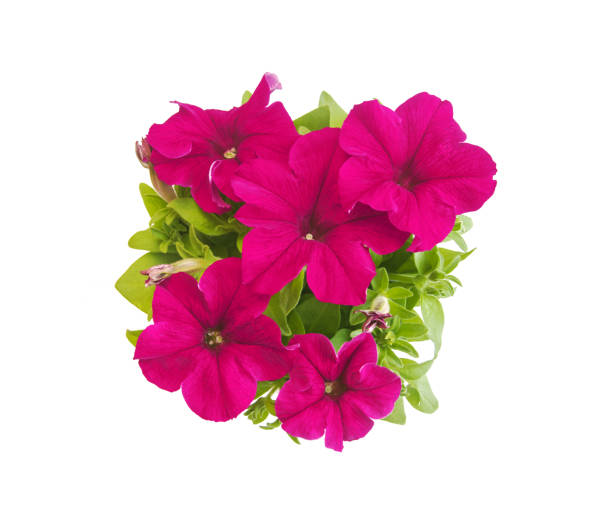 Rose red potted petunia in blooms closeup isolated on white picture id955820540?b=1&k=6&m=955820540&s=612x612&w=0&h=4pxn6dmhx3ycttsjoopxf9i0dgtzk3hrbf3s03fanjm=