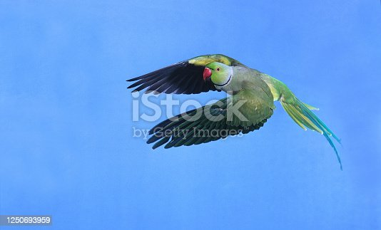 Rose Ringed Parakeet, psittacula krameri, Male in Flight