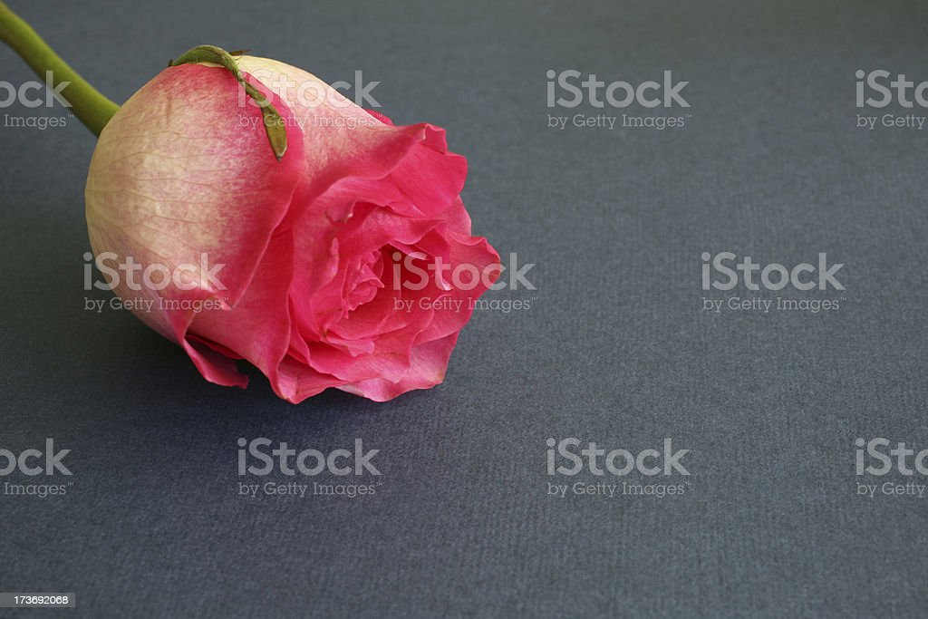 Rose Romance stock photo