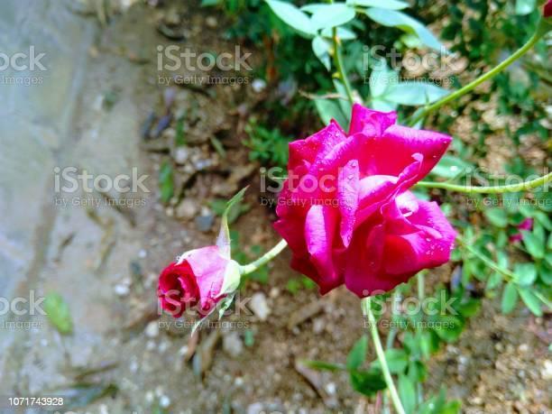 Rose along with rosebud