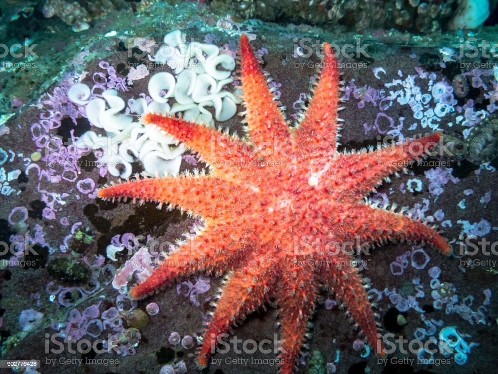 Rose Sea Star royalty-free stock photo