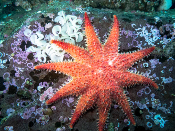 rose sea star - naturediver stock pictures, royalty-free photos & images