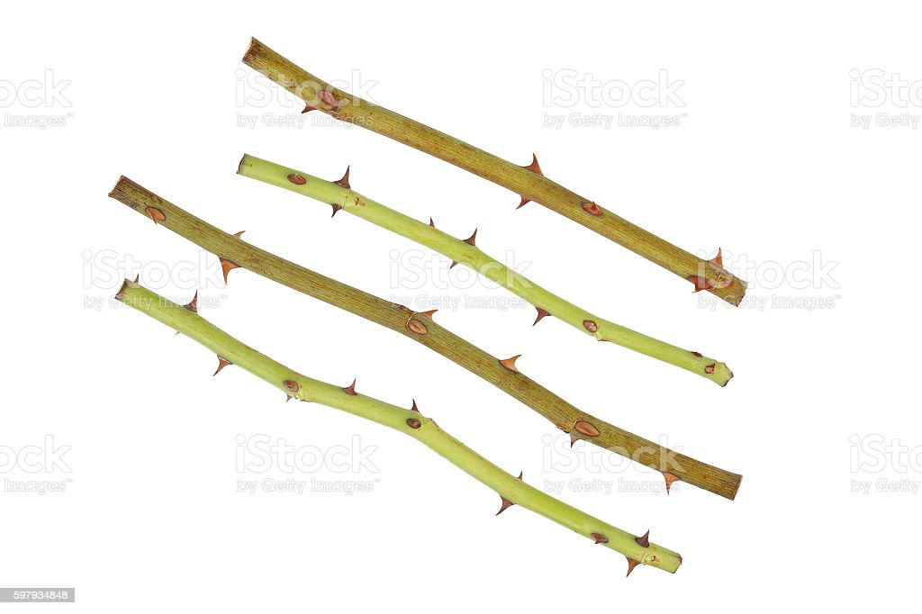 rose stalk with thorn isolated on white stock photo