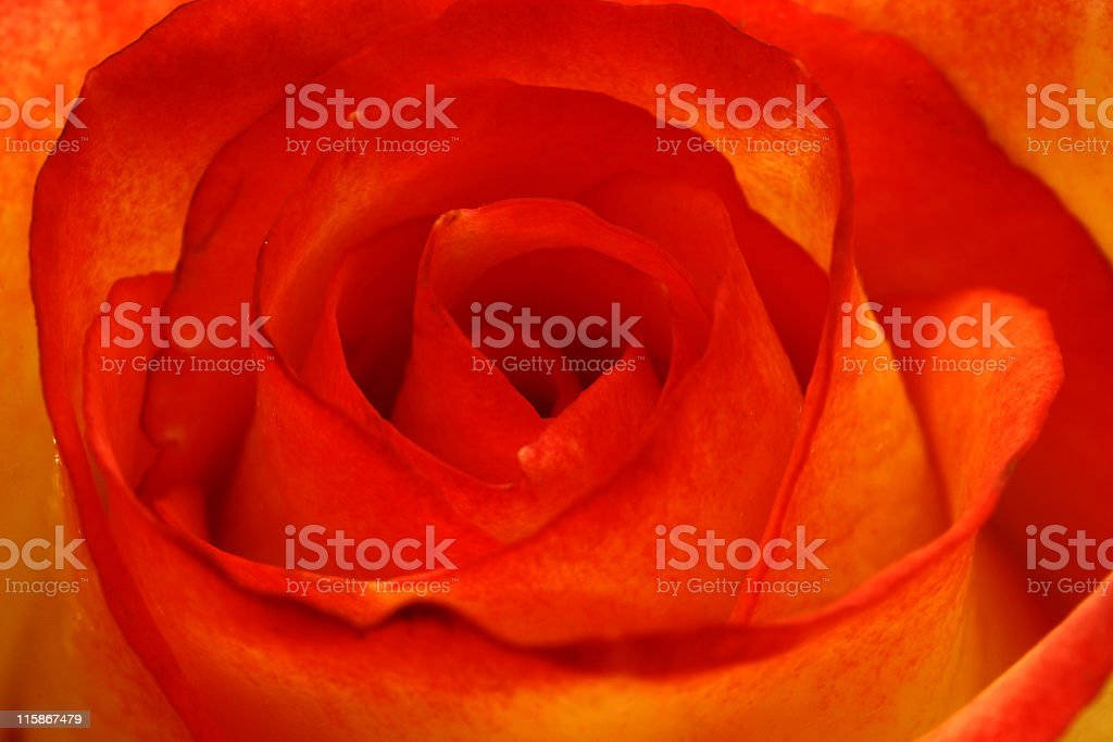 Rose Texture royalty-free stock photo