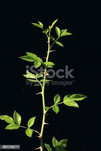 istock Rose thorn against black background 892238272