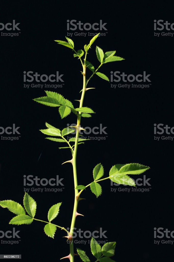Rose thorn against black background stock photo