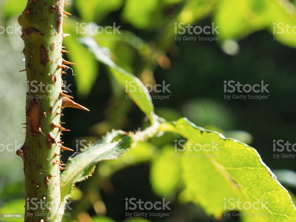 Rose Thorn stock photo