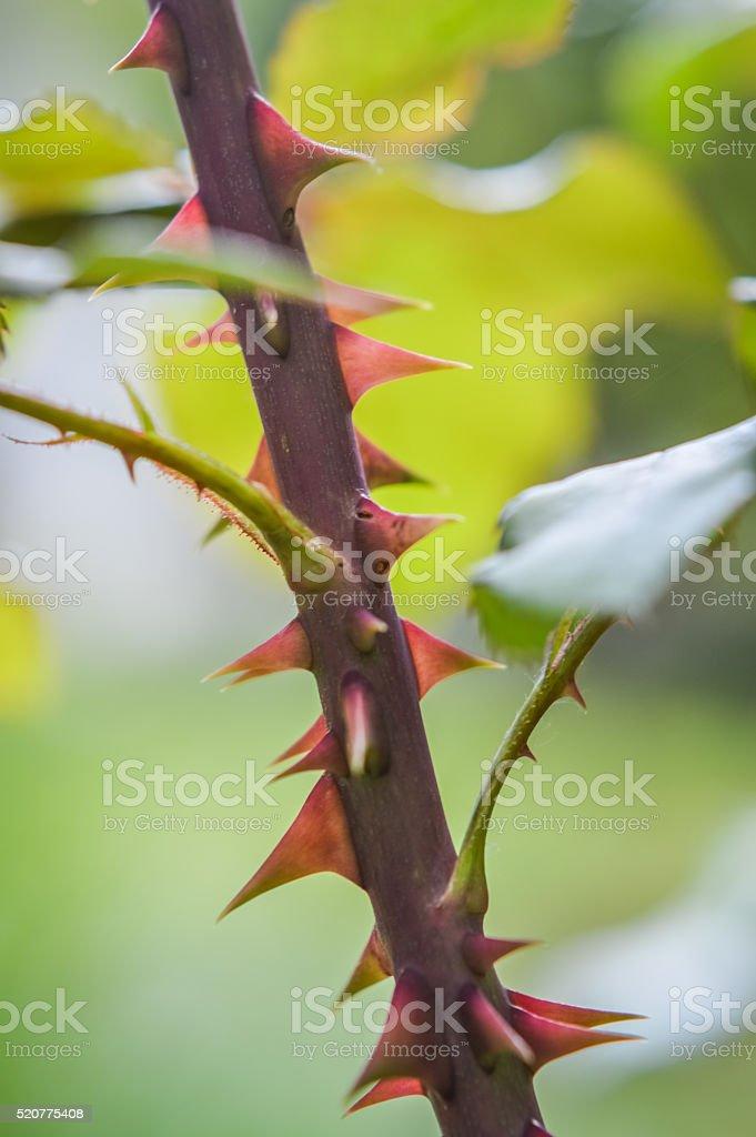 Rose Thorns close up stock photo