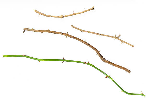 rose thorns - sharp stock photos and pictures