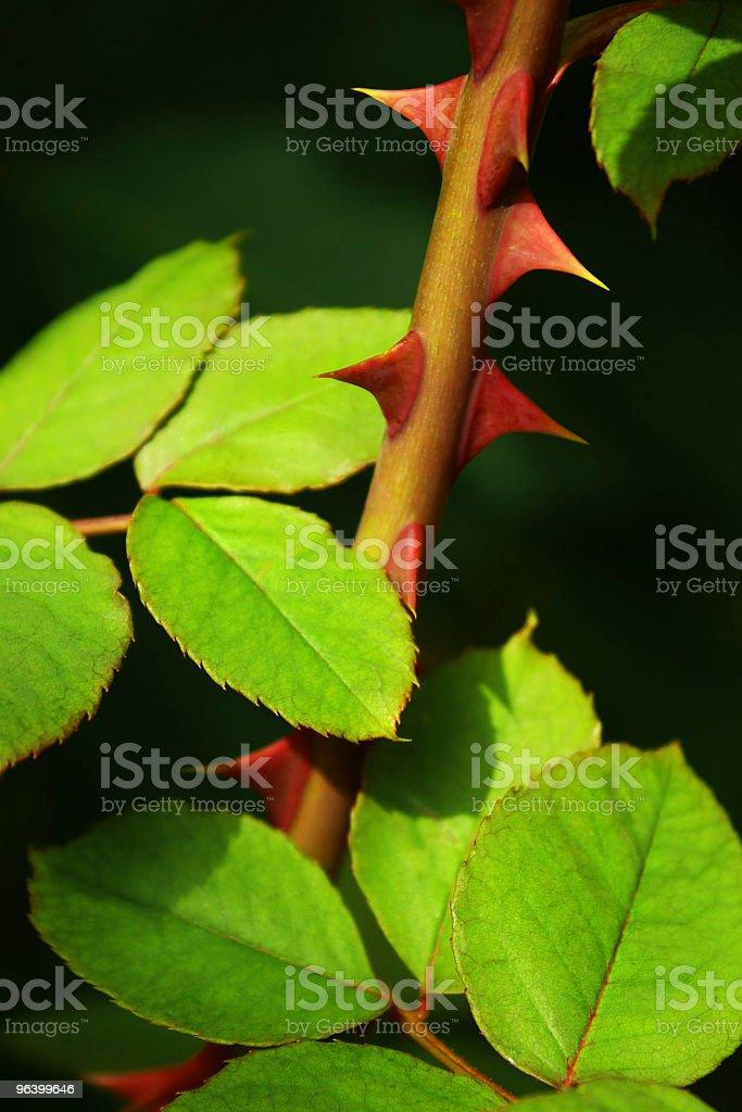 Rose Thorns - Royalty-free Autumn Stock Photo