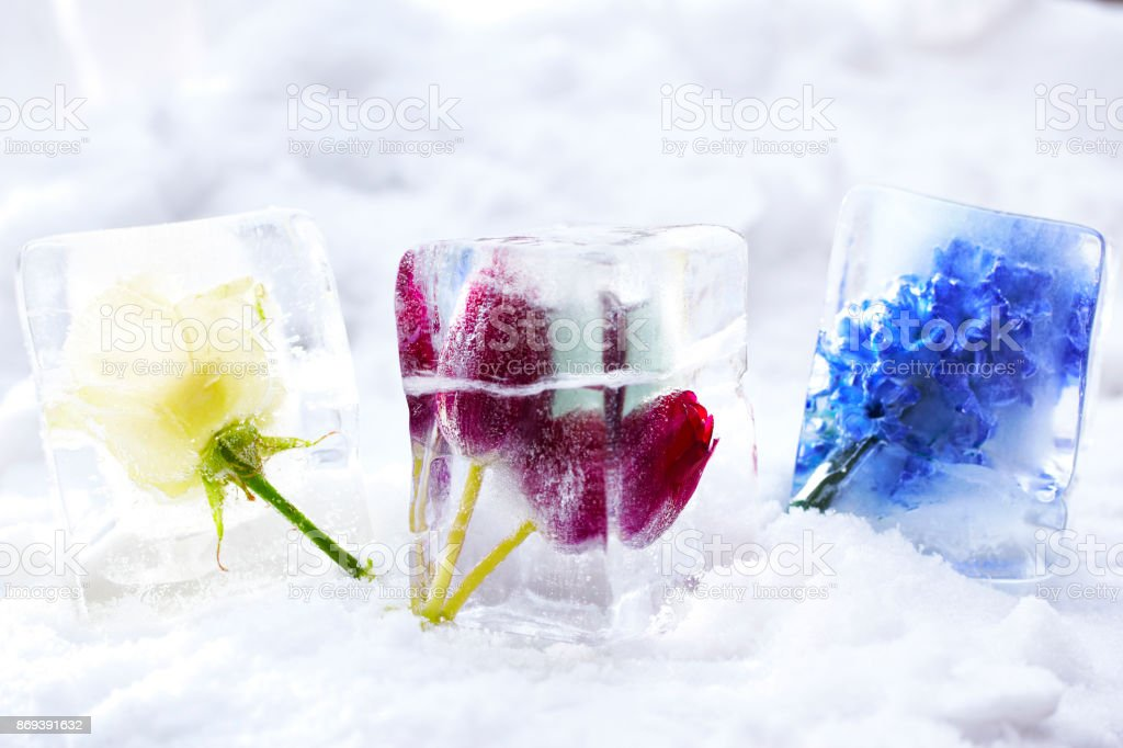 Rose, Tulip and Hyacinth frozen in block of ice foto stock royalty-free