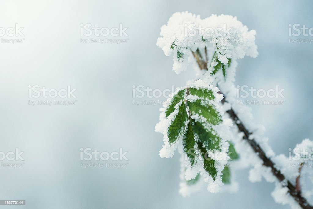 Rose twig in winter royalty-free stock photo