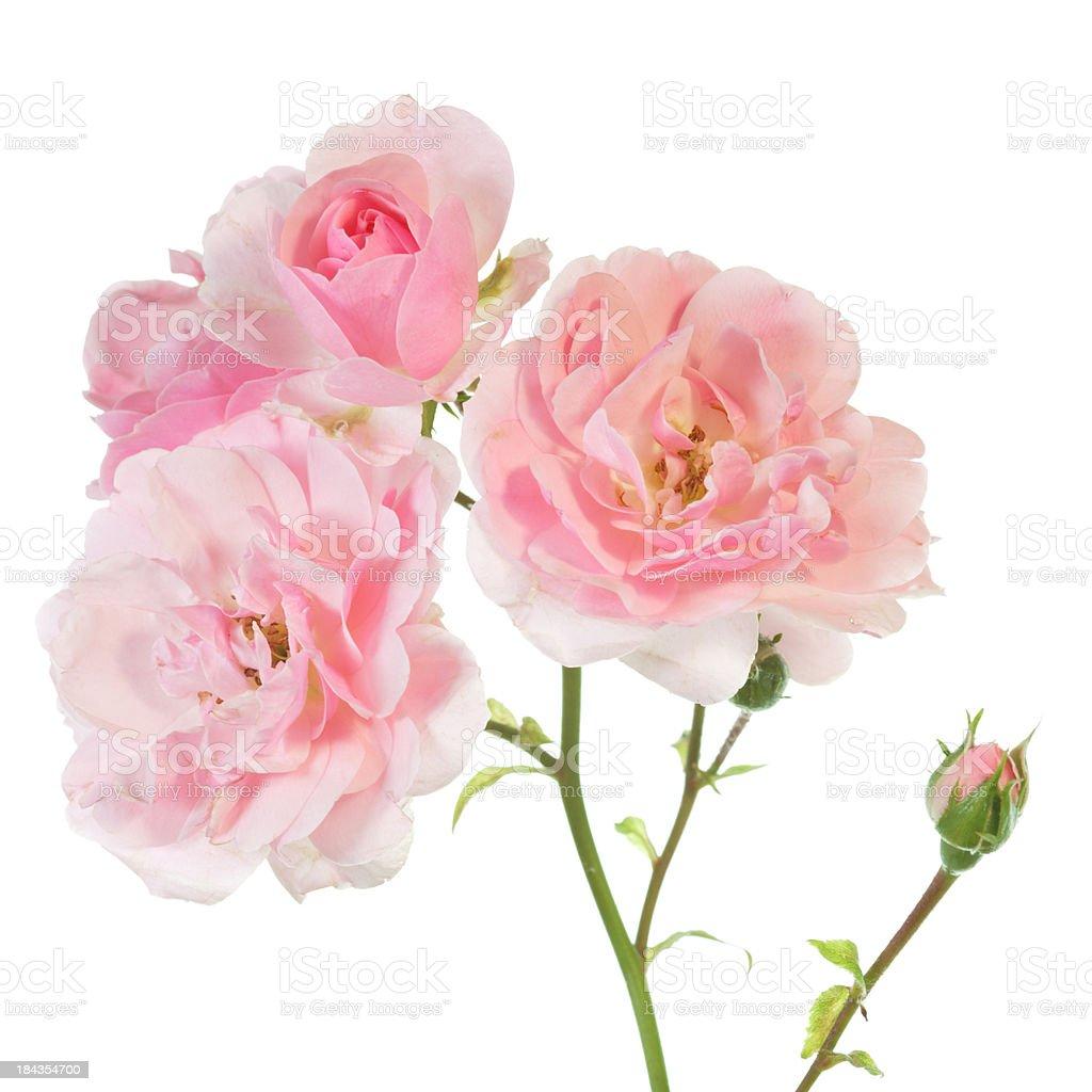 rose twig isolated on white stock photo