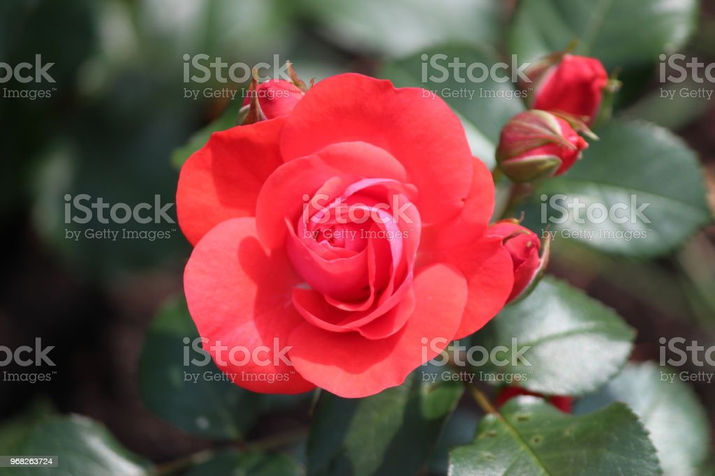 Roos type dover castle in close-Up met de naam van een rosarium in Boskoop Nederland geïsoleerd foto