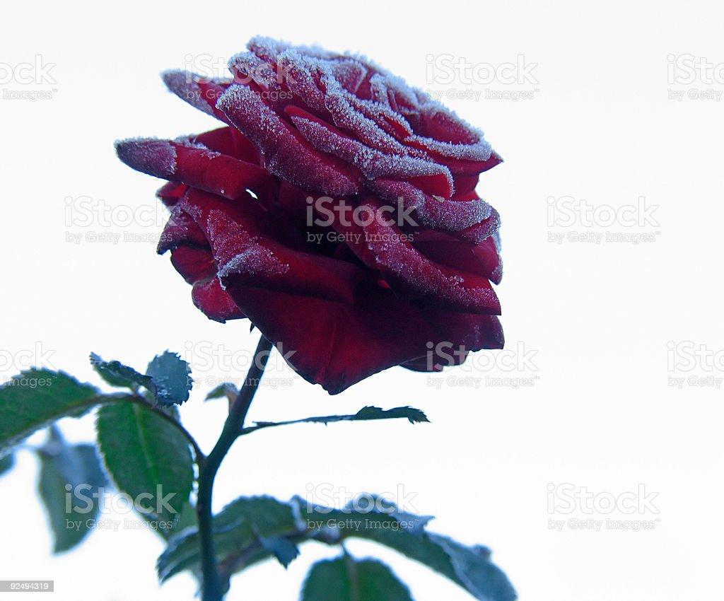 Rose unter hoar-frost Lizenzfreies stock-foto