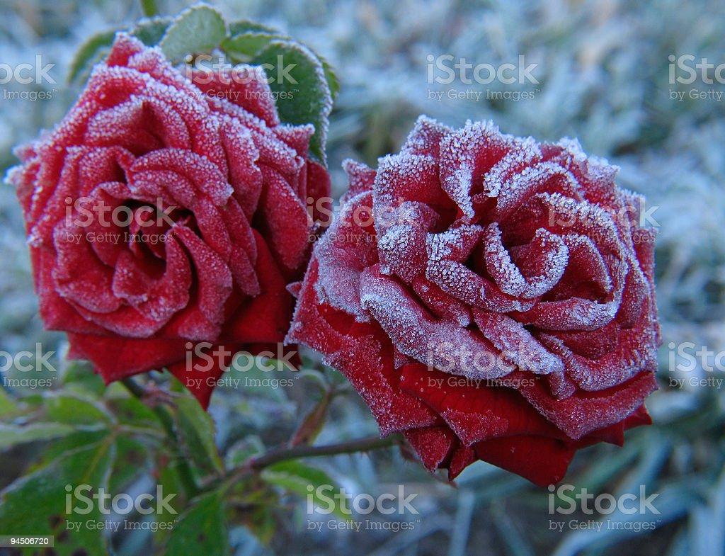 Rose under hoar-frost stock photo