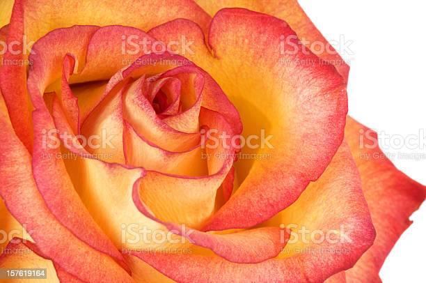 Rose vibrant in red and orange picture id157619164?b=1&k=6&m=157619164&s=612x612&h=lz97tltwpwi8jc7rj7lly6fgkiplckqrfvg7pcm4gck=
