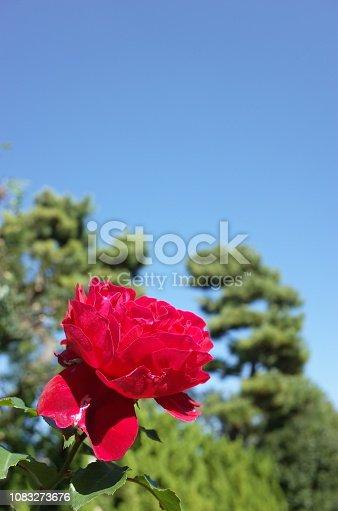 1082914626 istock photo Rose