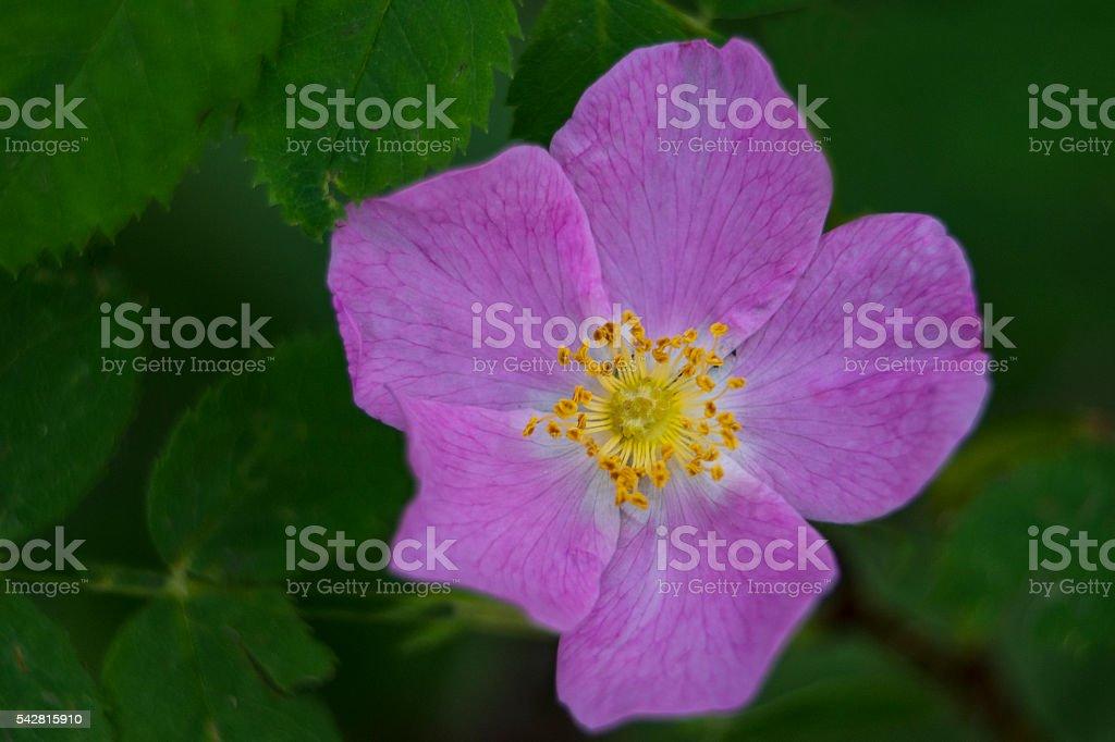 Rose Wildflower Closeup stock photo