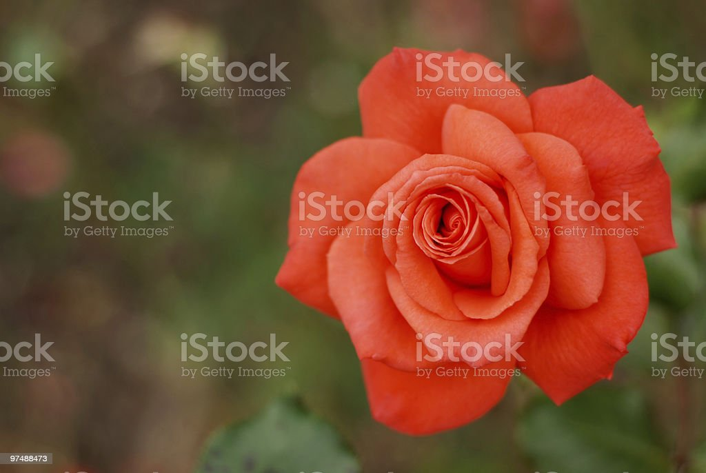 Rose with copy space royalty-free stock photo