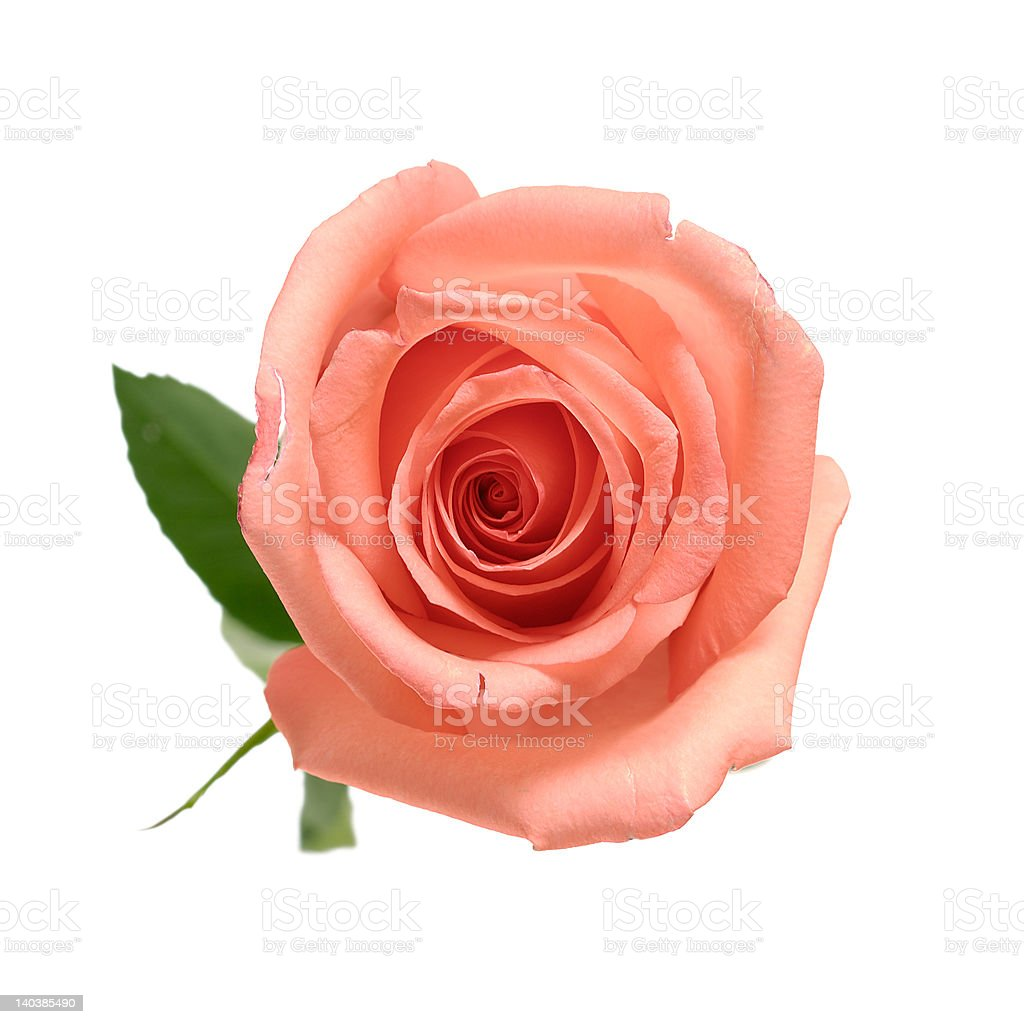 Rose with petal isolated [clipping path] royalty-free stock photo