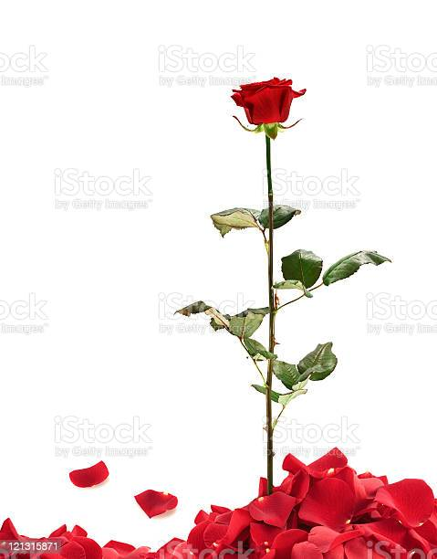 Rose with petals picture id121315871?b=1&k=6&m=121315871&s=612x612&h=ywe0xds4z1zlazymmqzwqaonoj fnnxnkp43f2e2mta=