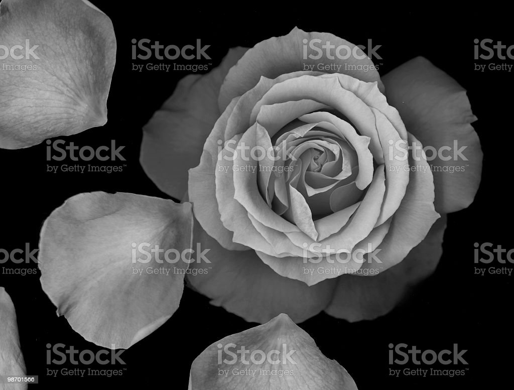 Rose with petals (black & white) royalty-free stock photo
