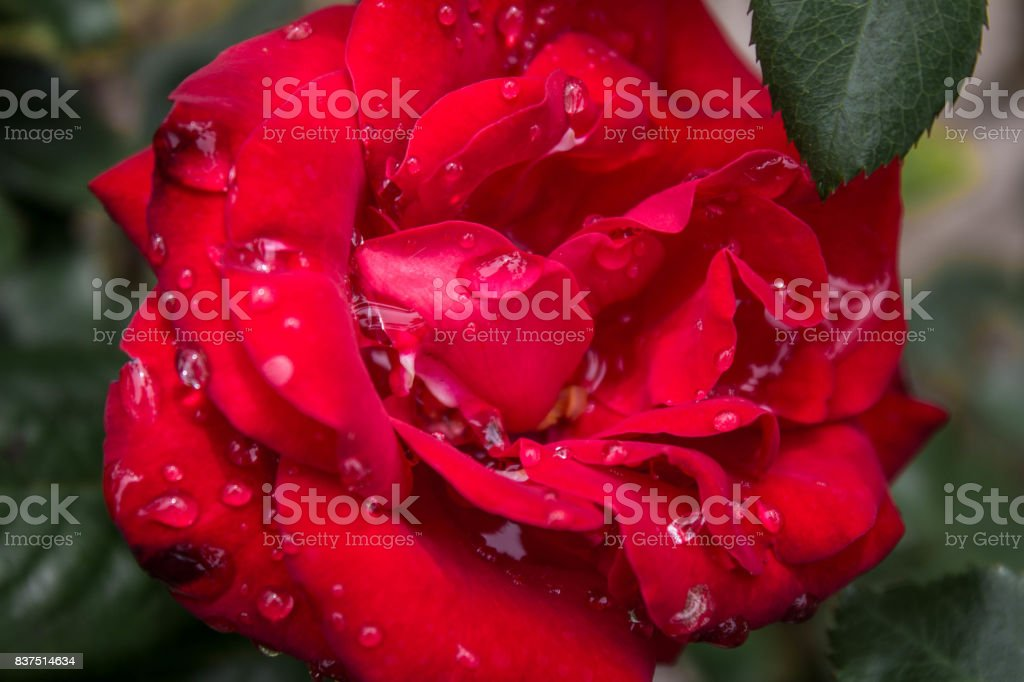 Rose with Raindrops stock photo