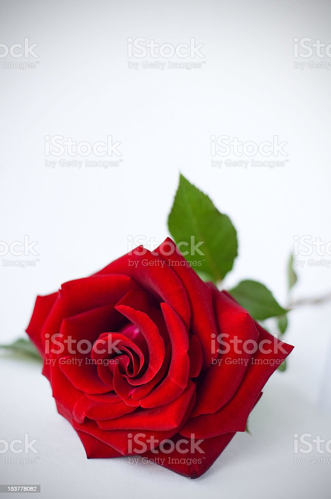 Rose with space for text royalty-free stock photo