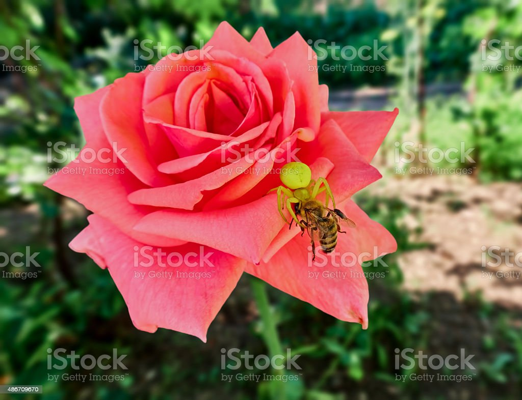 rose, yellow spider and the bee royalty-free stock photo