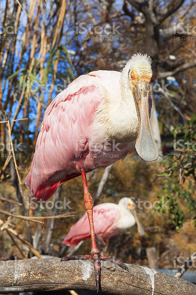 Roseate eurasian spoonbill on the branch stock photo