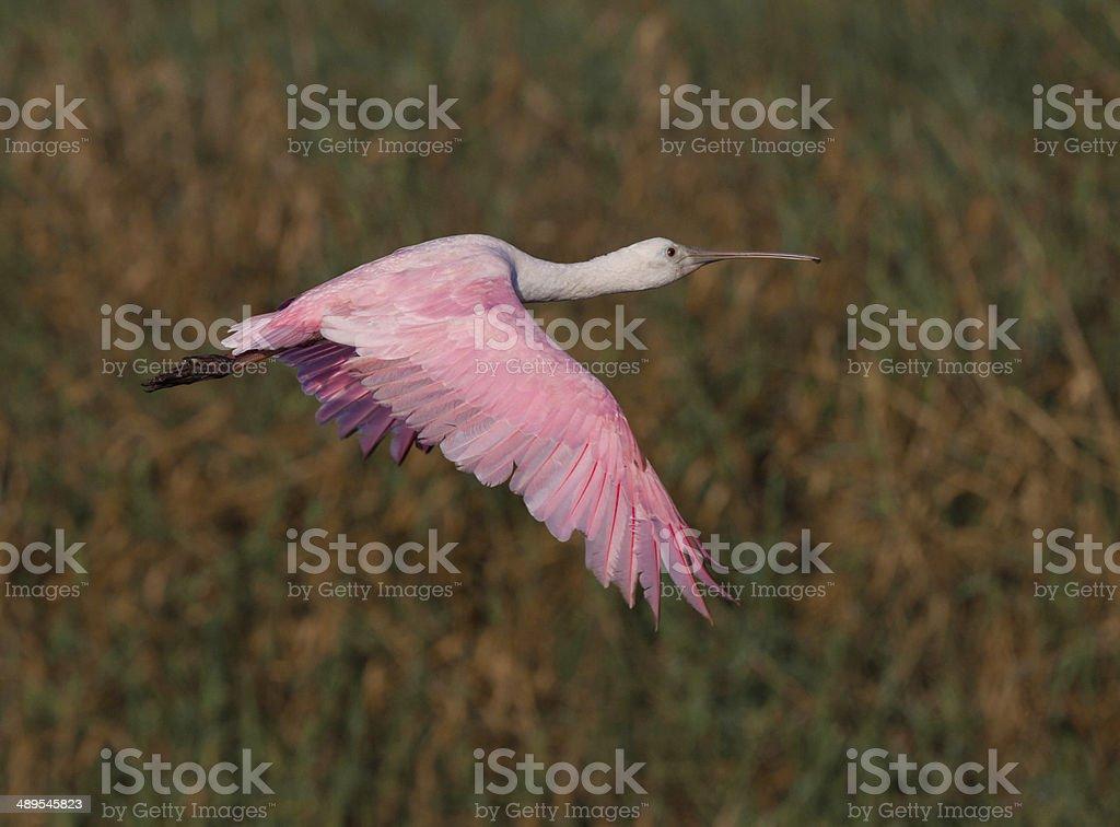 Roseate spoonbill flies over marsh stock photo