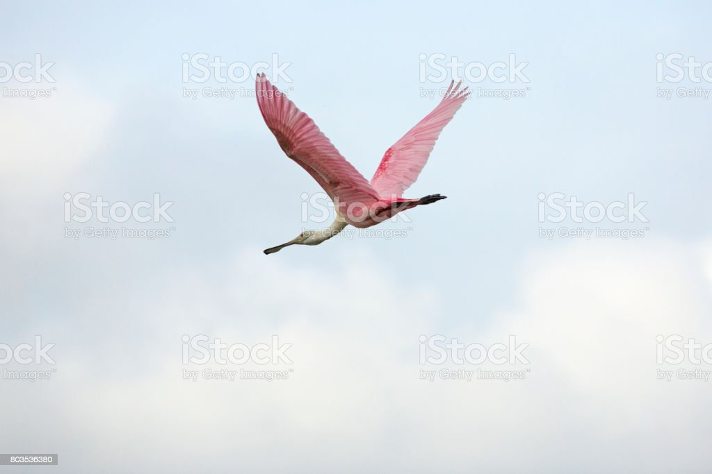 Roseate spoonbill flying in a cloudy sky, Orlando Wetlands Park. stock photo