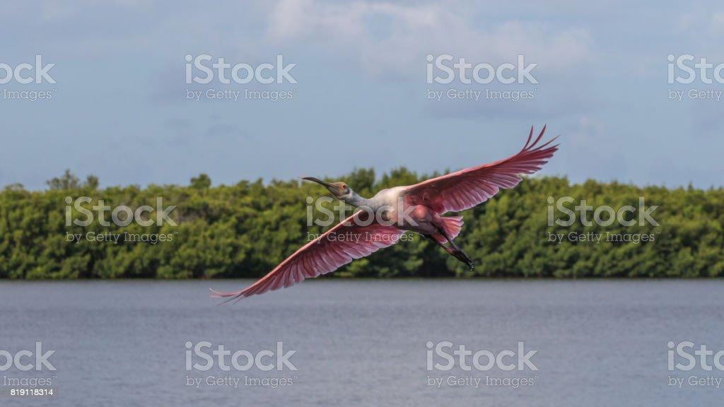 Roseate Spoonbill Flying, J.N. ''Ding'' Darling National Wildlife Refuge, Sanibel Island, Florida, USA stock photo