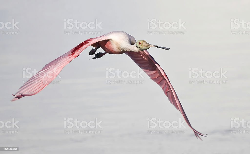 Roseate Spoonbill in Flight 免版稅 stock photo