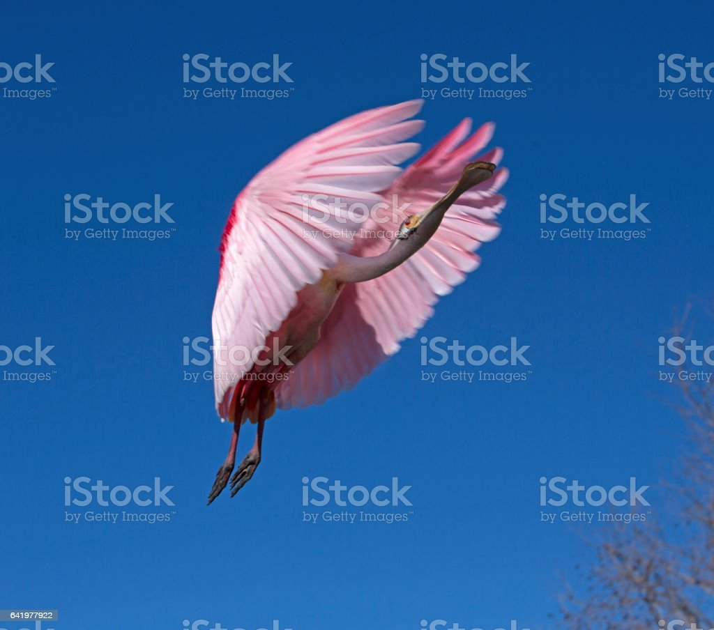 roseate spoonbill landing stock photo